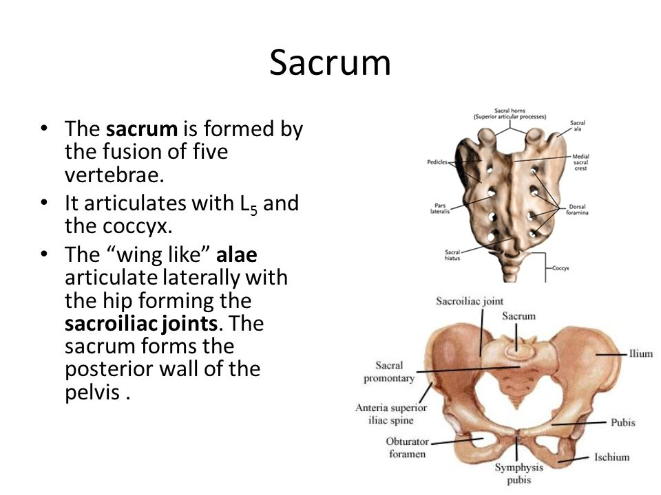 Sacrum The sacrum is formed by the fusion of five vertebrae.