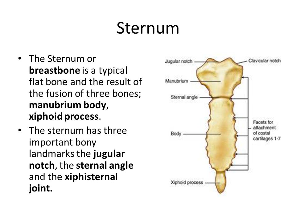 Sternum The Sternum or breastbone is a typical flat bone and the result of the fusion of three bones; manubrium body, xiphoid process.