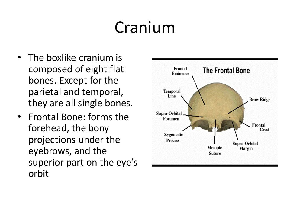 Cranium The boxlike cranium is composed of eight flat bones. Except for the parietal and temporal, they are all single bones.