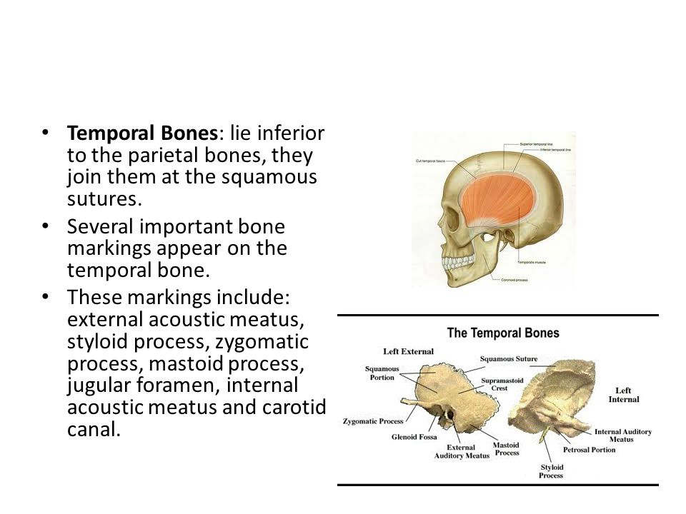 Temporal Bones: lie inferior to the parietal bones, they join them at the squamous sutures.
