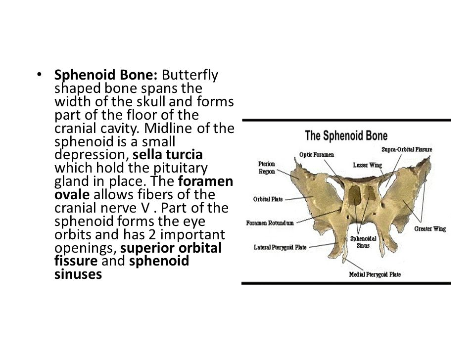 Sphenoid Bone: Butterfly shaped bone spans the width of the skull and forms part of the floor of the cranial cavity.