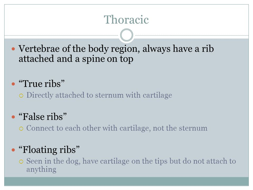 Thoracic Vertebrae of the body region, always have a rib attached and a spine on top. True ribs Directly attached to sternum with cartilage.