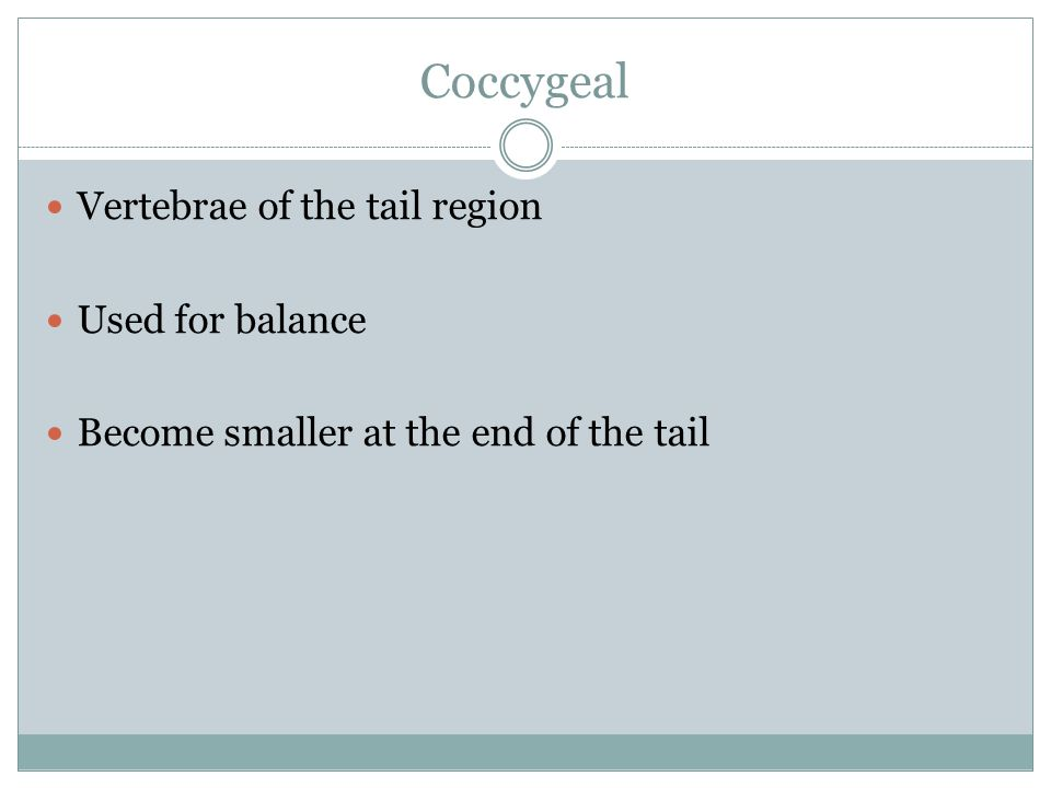 Coccygeal Vertebrae of the tail region Used for balance