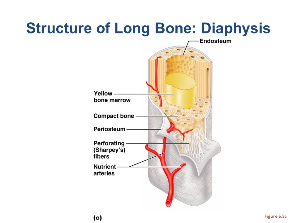 Structure of Long Bone: Diaphysis