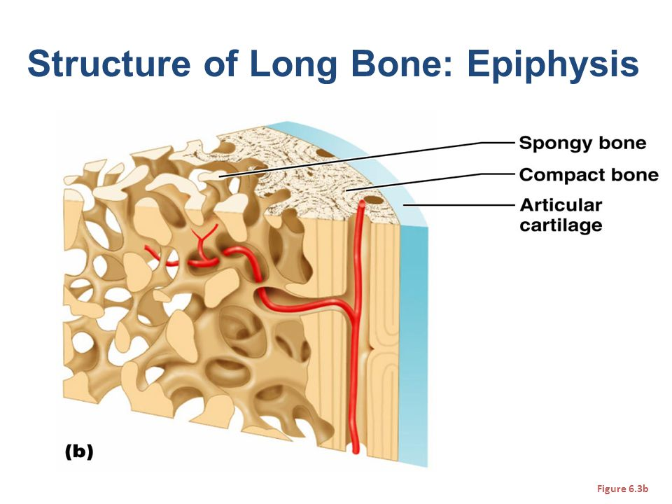 Structure of Long Bone: Epiphysis