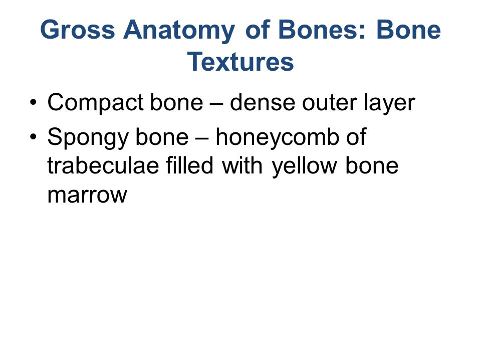 Gross Anatomy of Bones: Bone Textures