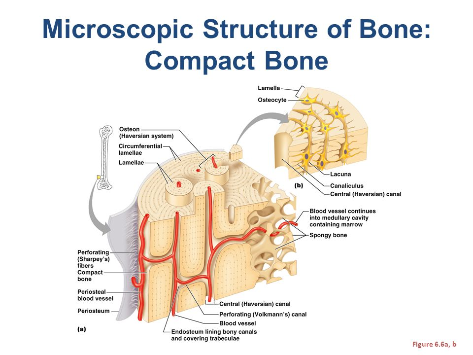 Microscopic Structure of Bone: Compact Bone