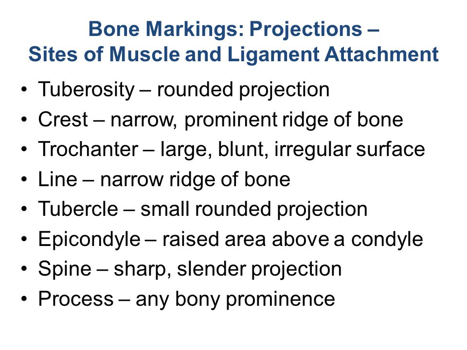 Bone Markings: Projections – Sites of Muscle and Ligament Attachment