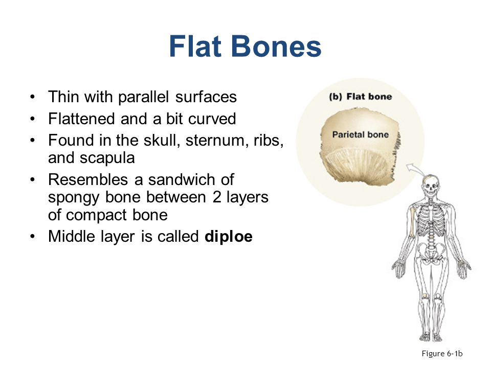 Flat Bones Thin with parallel surfaces Flattened and a bit curved