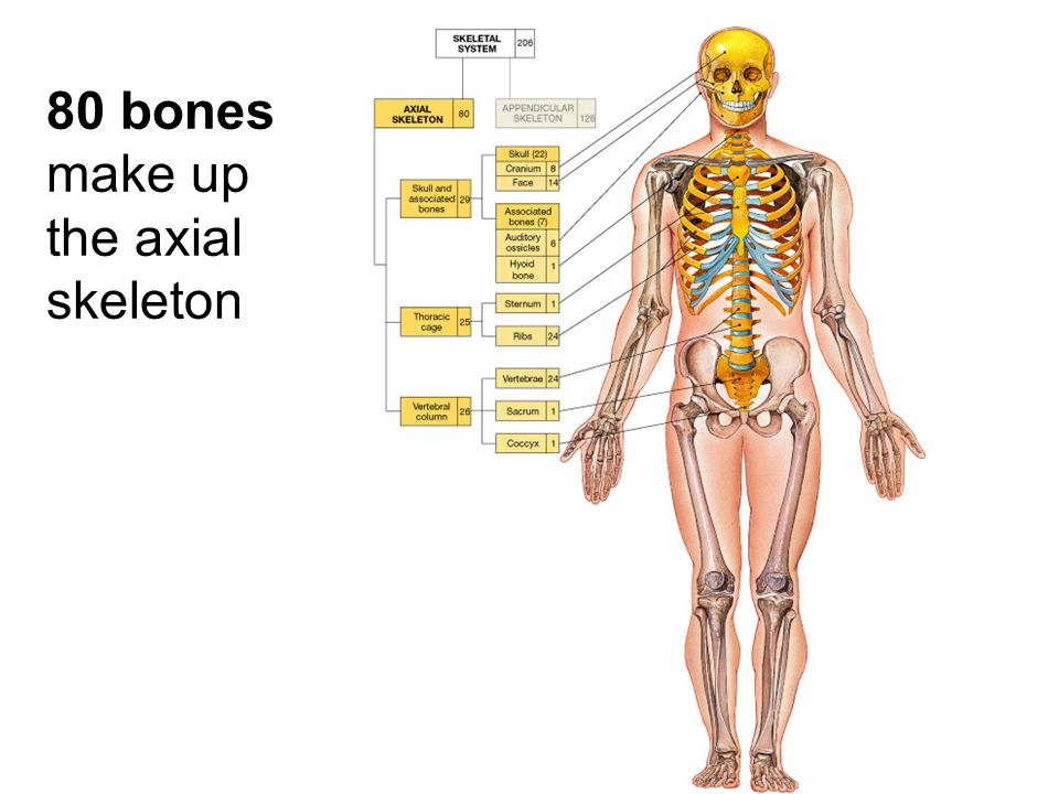 80 bones make up the axial skeleton