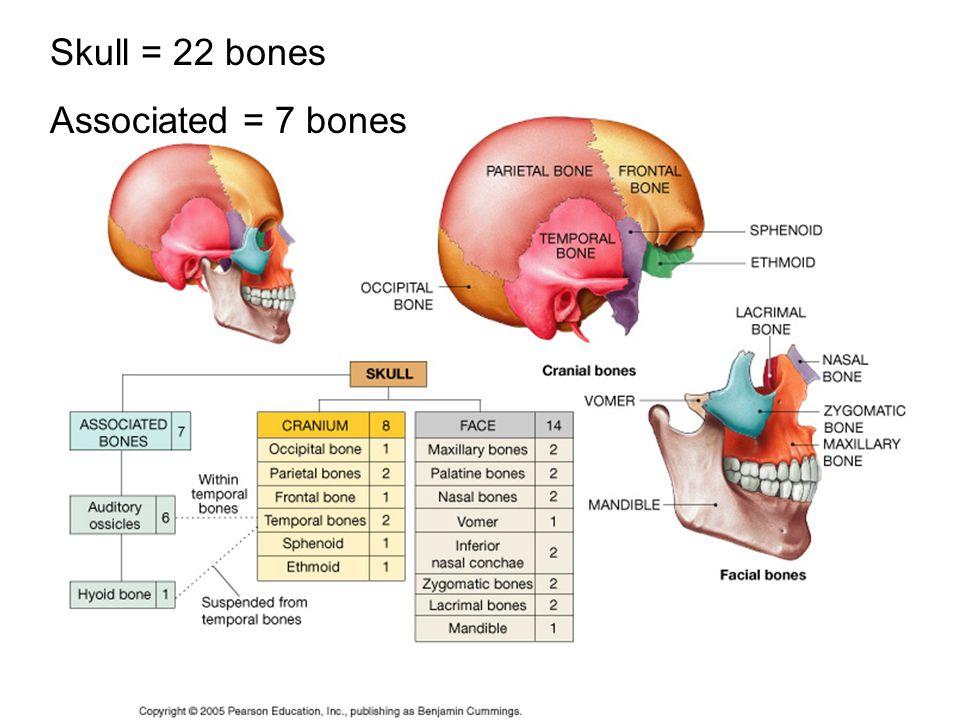 Skull = 22 bones Associated = 7 bones