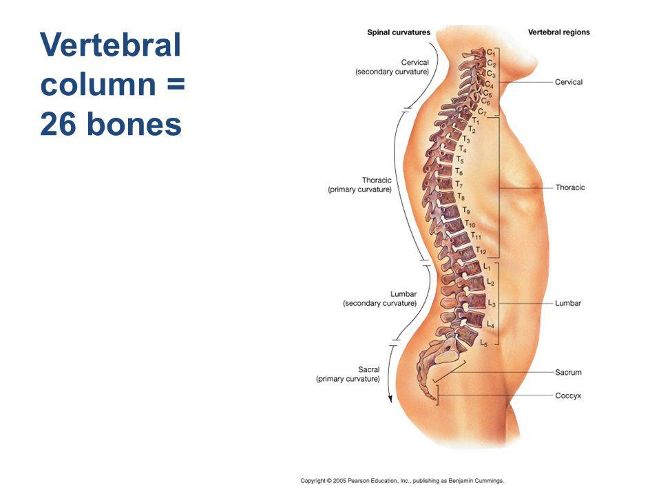 Vertebral column = 26 bones