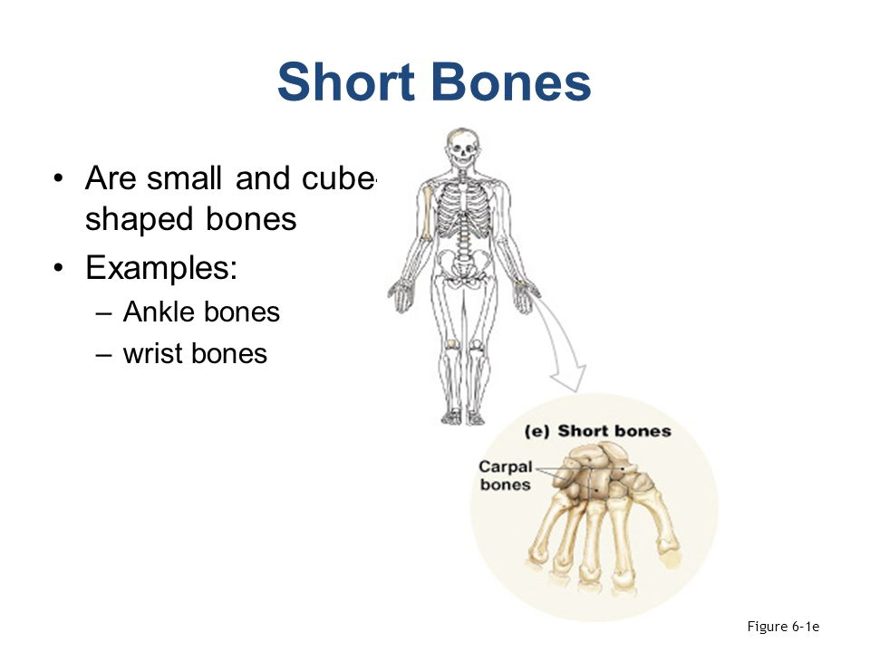 Short Bones Are small and cube-shaped bones Examples: Ankle bones