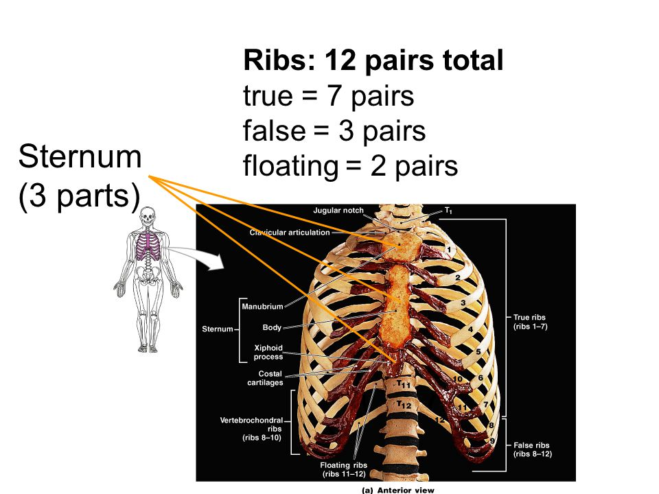 Ribs: 12 pairs total true = 7 pairs false = 3 pairs floating = 2 pairs