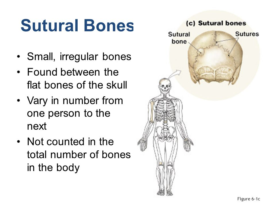 Sutural Bones Small, irregular bones