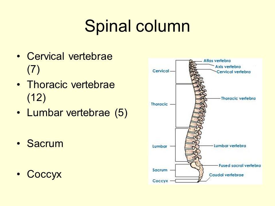 Spinal column Cervical vertebrae (7) Thoracic vertebrae (12)