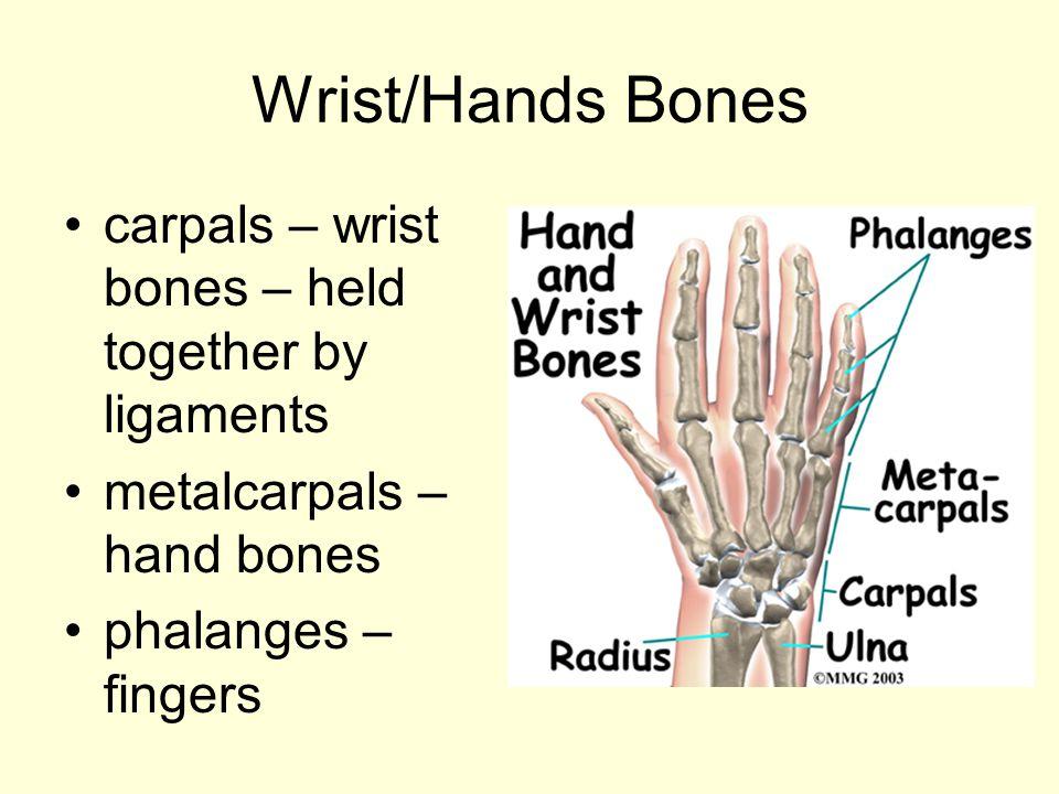 Wrist/Hands Bones carpals – wrist bones – held together by ligaments