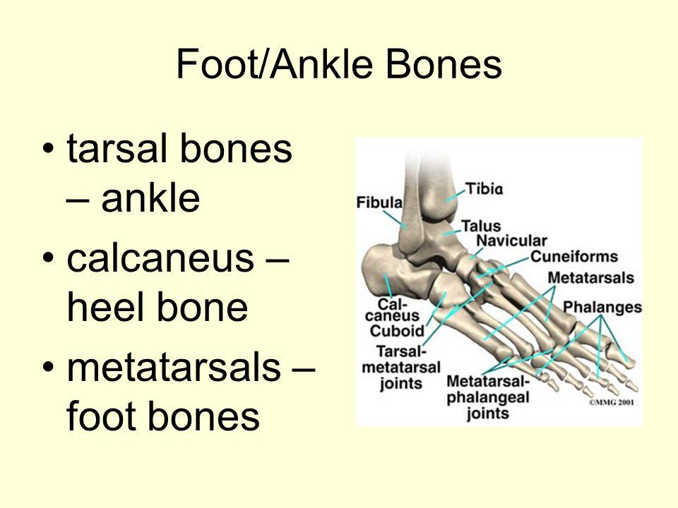 Foot/Ankle Bones tarsal bones – ankle calcaneus – heel bone metatarsals – foot bones