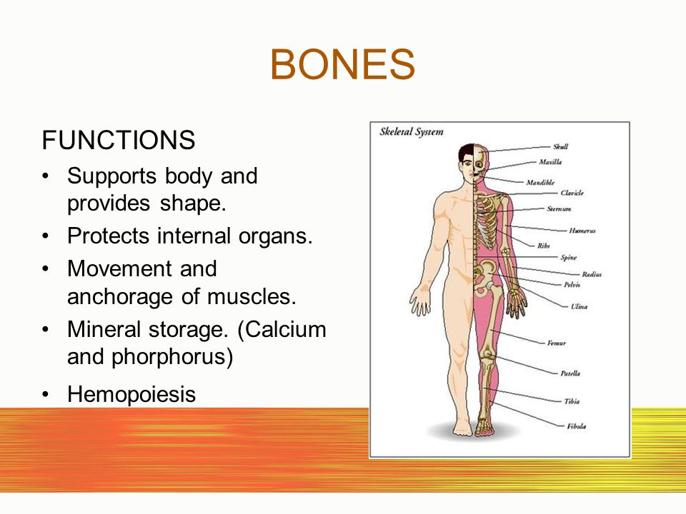 BONES FUNCTIONS Supports body and provides shape.