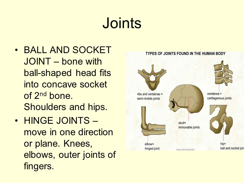 Joints BALL AND SOCKET JOINT – bone with ball-shaped head fits into concave socket of 2nd bone. Shoulders and hips.