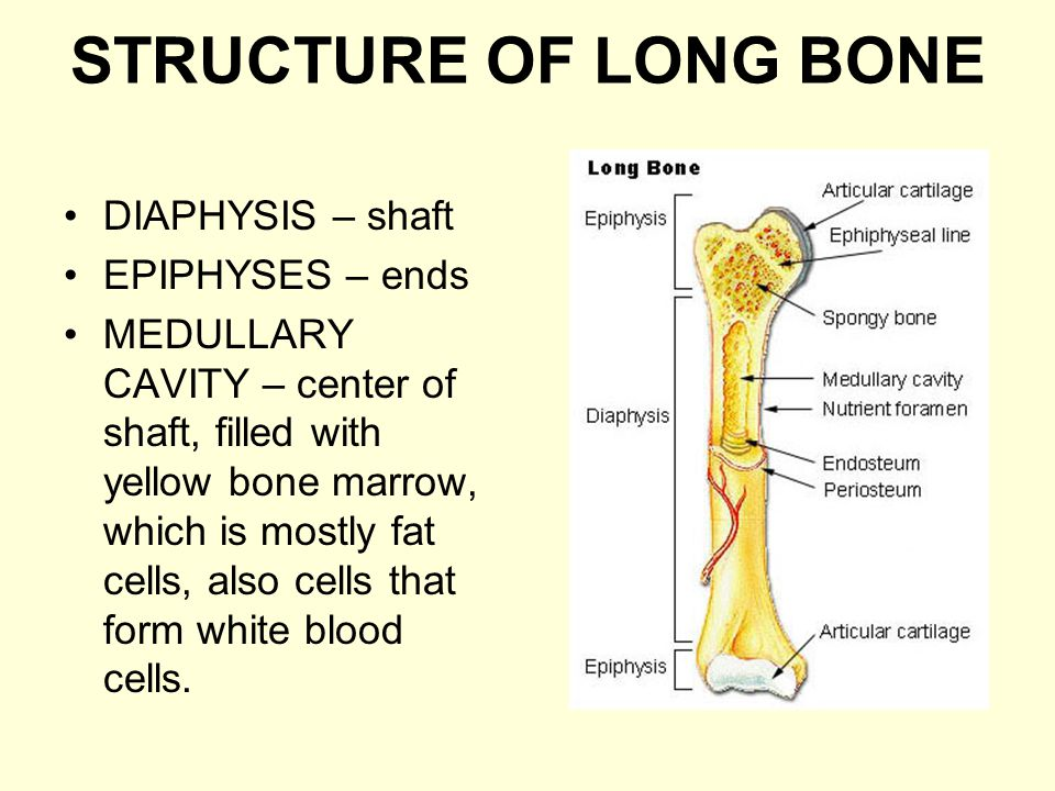 STRUCTURE OF LONG BONE DIAPHYSIS – shaft EPIPHYSES – ends