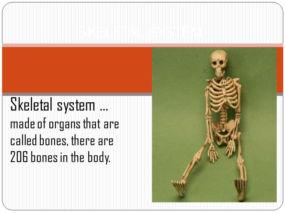 Skeletal System Skeletal System Made Of Organs That Are Called