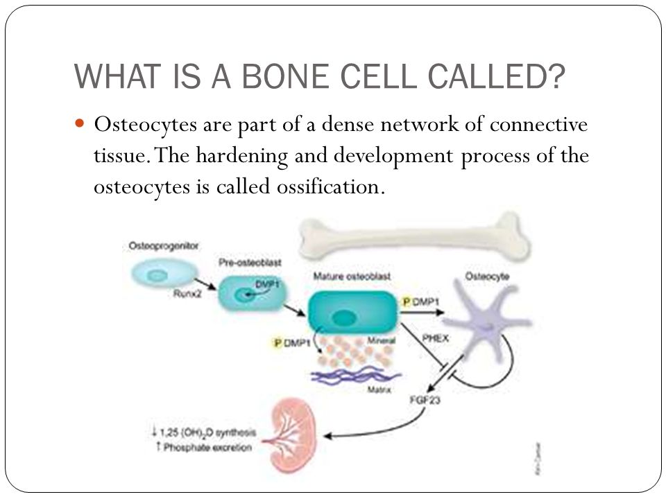 WHAT IS A BONE CELL CALLED