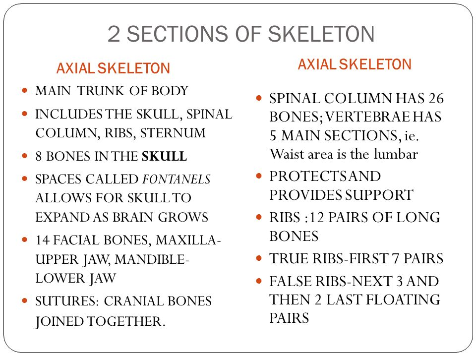 2 SECTIONS OF SKELETON AXIAL SKELETON. AXIAL SKELETON. MAIN TRUNK OF BODY. INCLUDES THE SKULL, SPINAL COLUMN, RIBS, STERNUM.