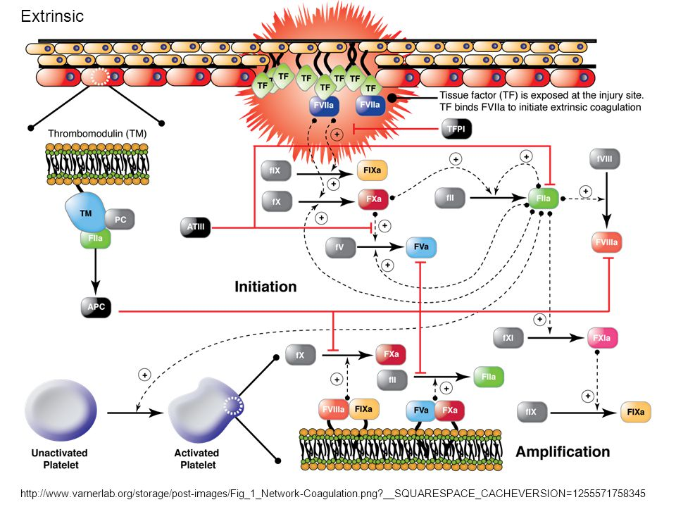 Extrinsic http://www.varnerlab.org/storage/post-images/Fig_1_Network-Coagulation.png __SQUARESPACE_CACHEVERSION=1255571758345.