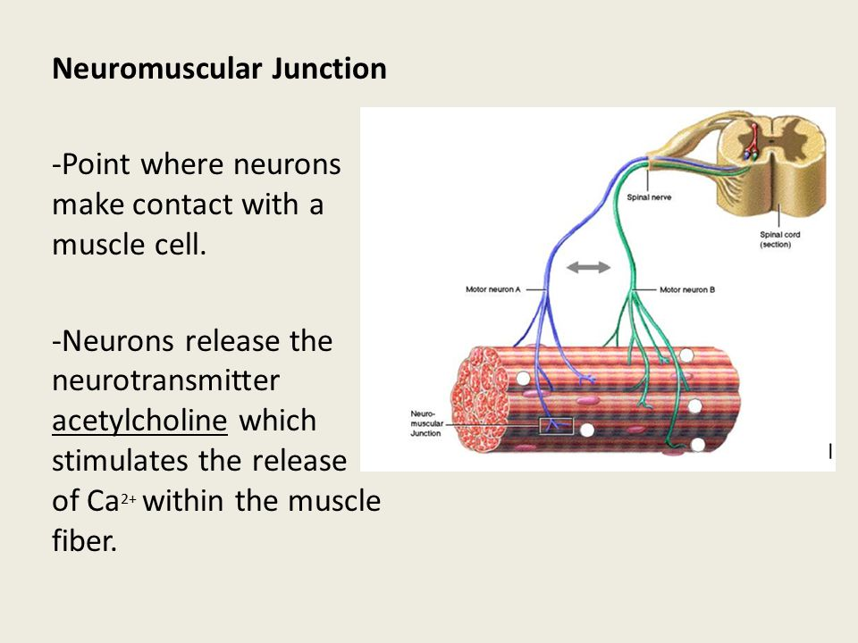 Neuromuscular Junction -Point where neurons make contact with a muscle cell.