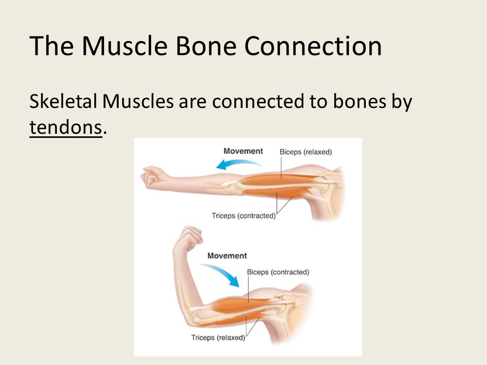 The Muscle Bone Connection