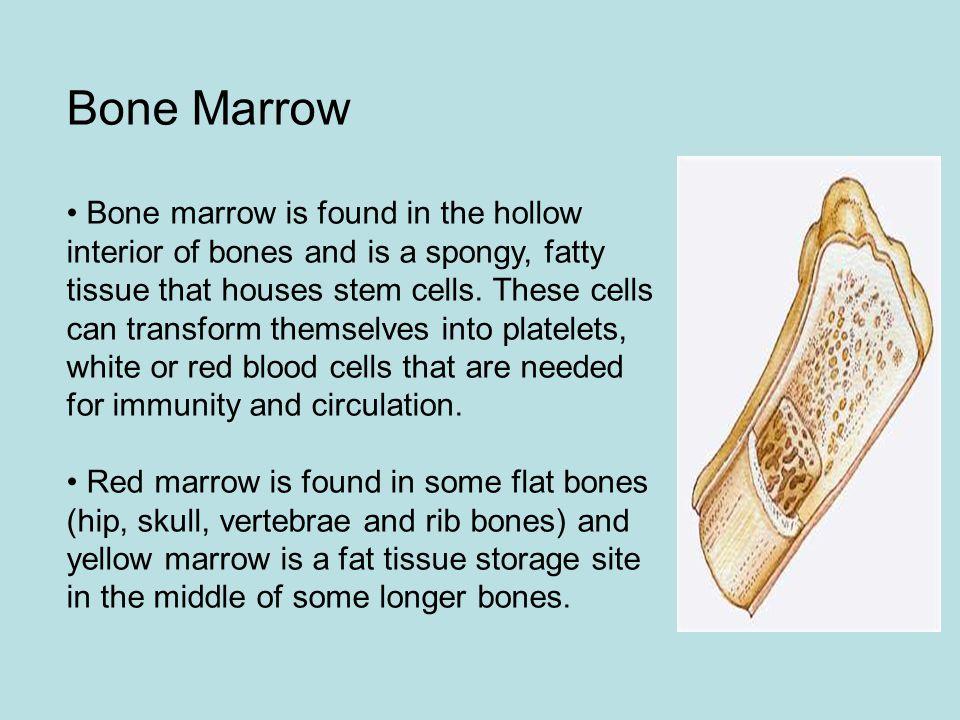 Bone Marrow • Bone marrow is found in the hollow