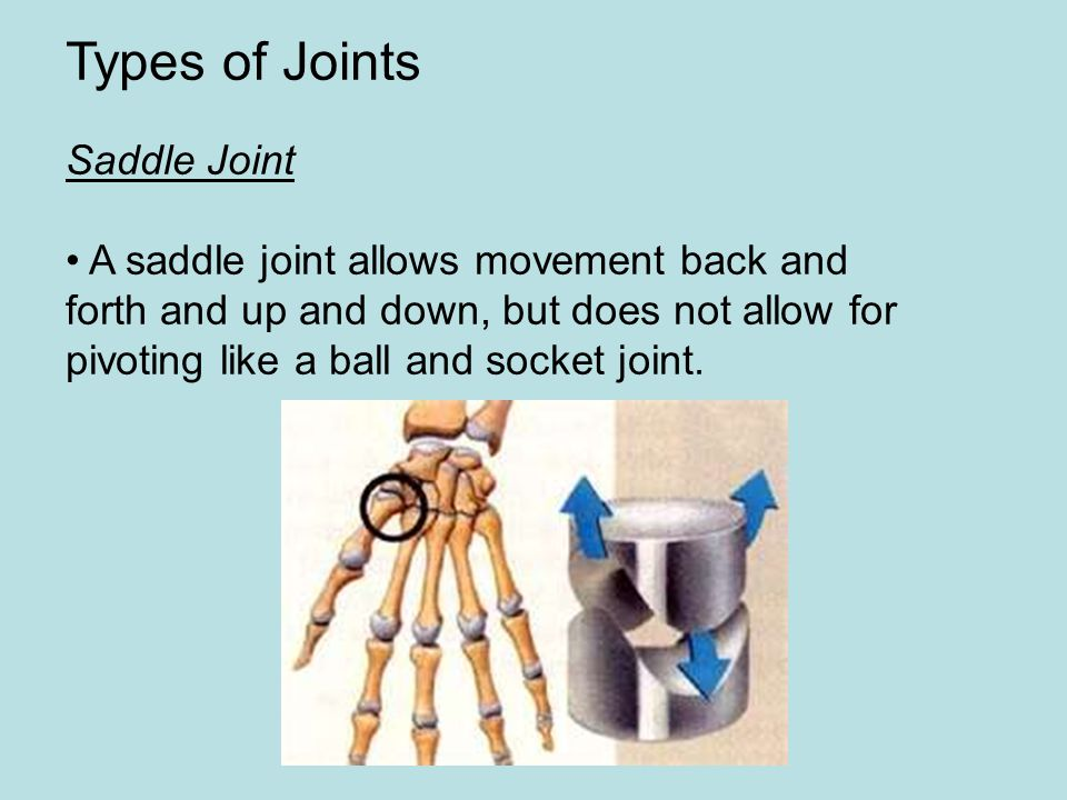 Types of Joints Saddle Joint • A saddle joint allows movement back and