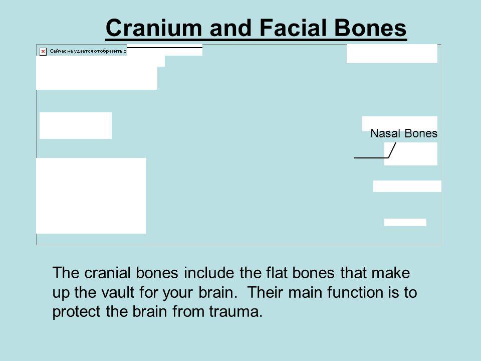 Cranium and Facial Bones