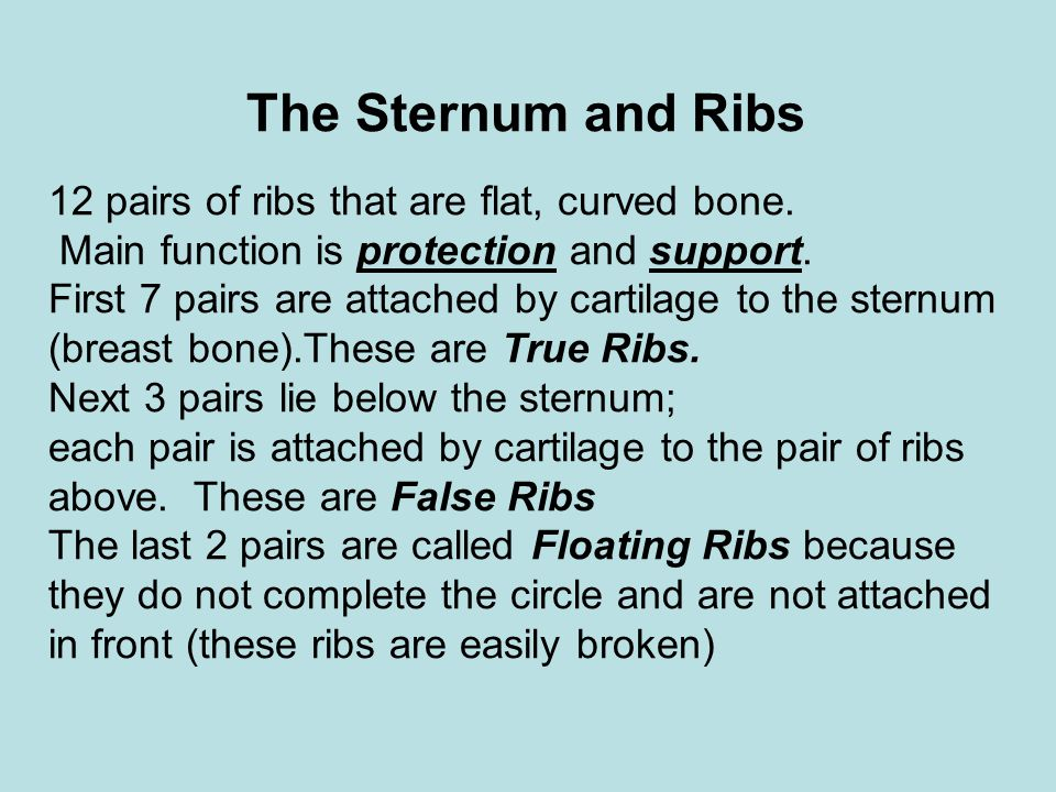 The Sternum and Ribs 12 pairs of ribs that are flat, curved bone.