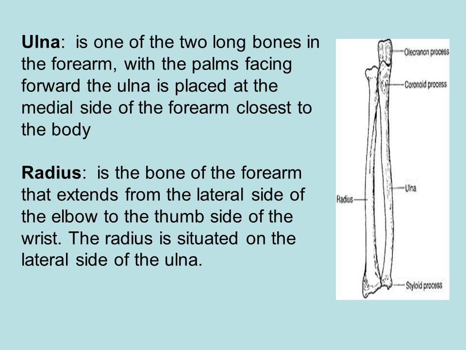 Ulna: is one of the two long bones in the forearm, with the palms facing forward the ulna is placed at the