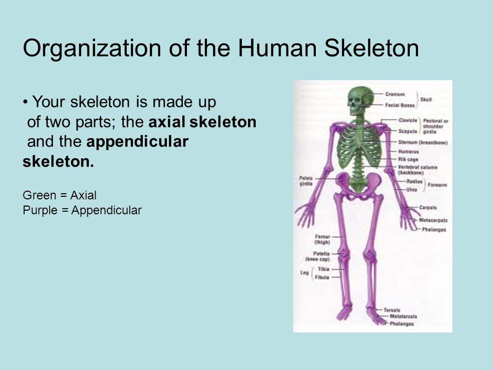 Organization of the Human Skeleton