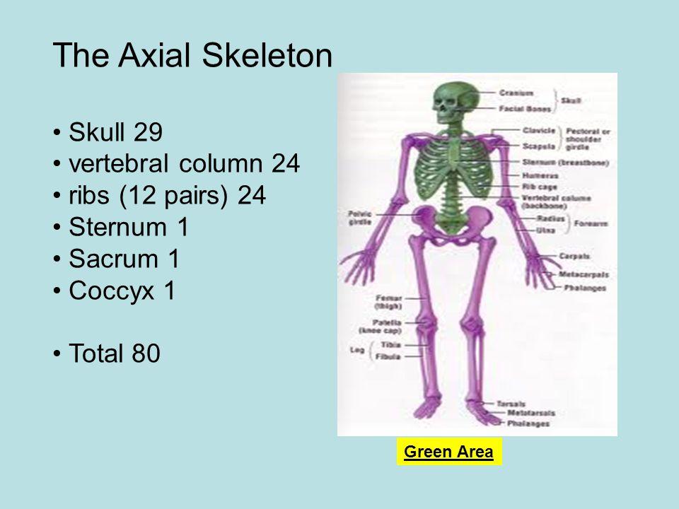 The Axial Skeleton • Skull 29 • vertebral column 24