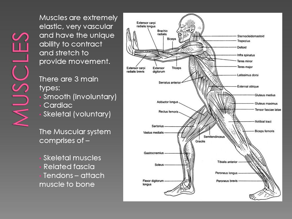 Muscles are extremely elastic, very vascular and have the unique ability to contract and stretch to provide movement.