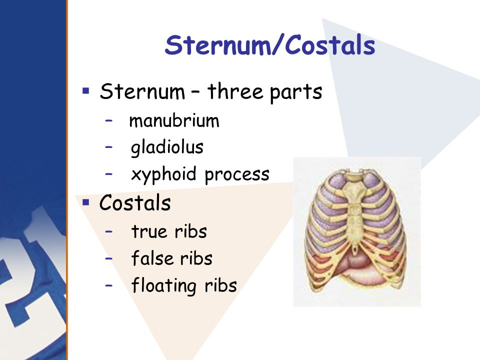 Sternum/Costals Sternum – three parts Costals manubrium gladiolus