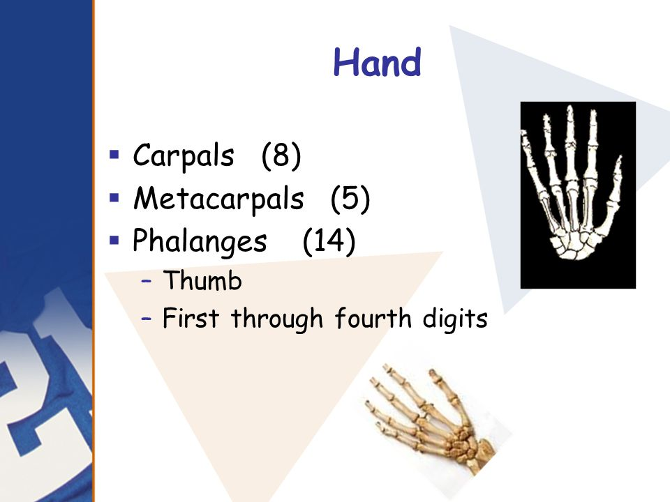 Hand Carpals (8) Metacarpals (5) Phalanges (14) Thumb