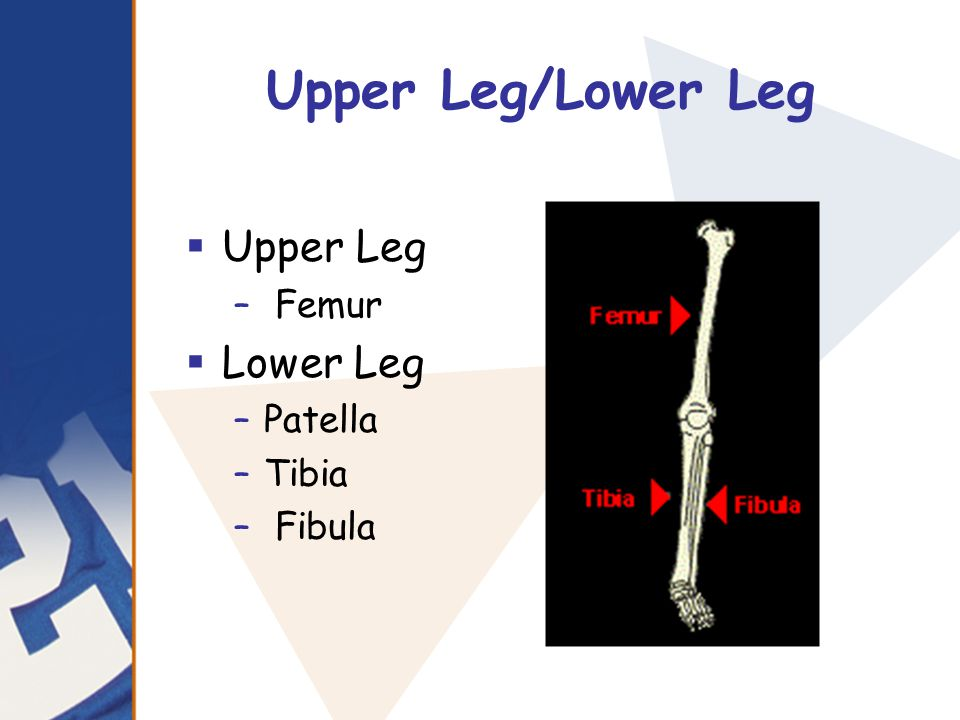 Upper Leg/Lower Leg Upper Leg Lower Leg Femur Patella Tibia Fibula