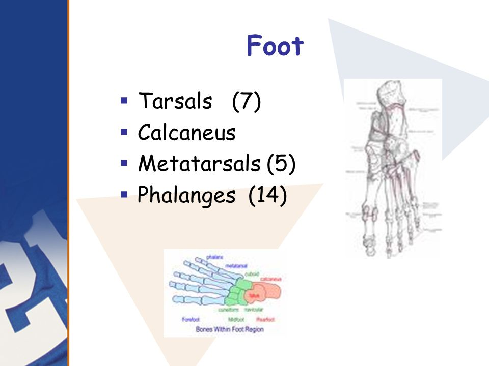 Foot Tarsals (7) Calcaneus Metatarsals (5) Phalanges (14)