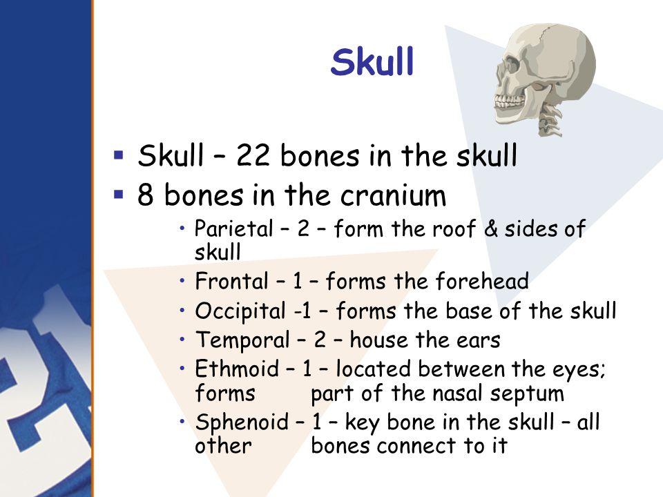 Skull Skull – 22 bones in the skull 8 bones in the cranium