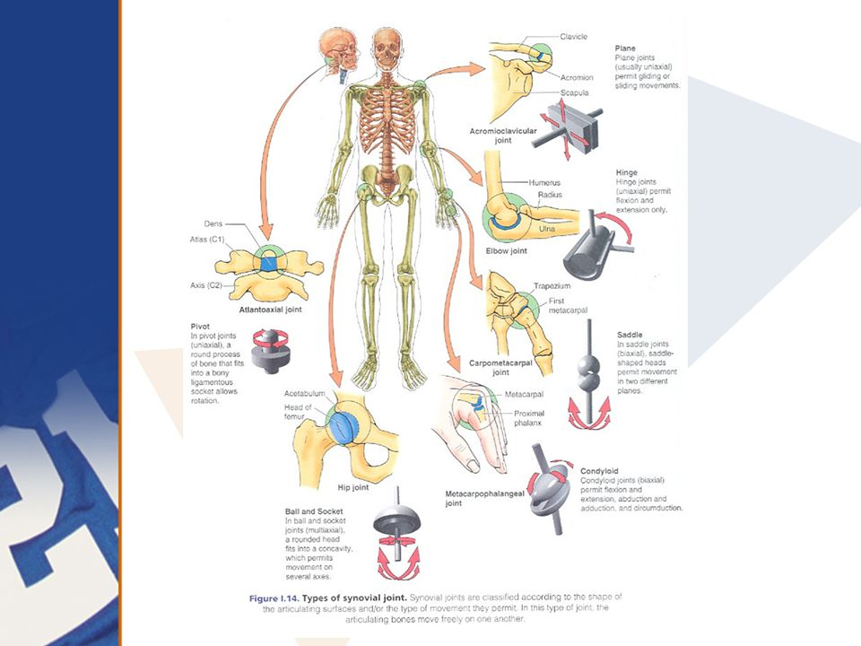 Skeletal System Adapted from North Carolina Curriculum, Fall, 2007