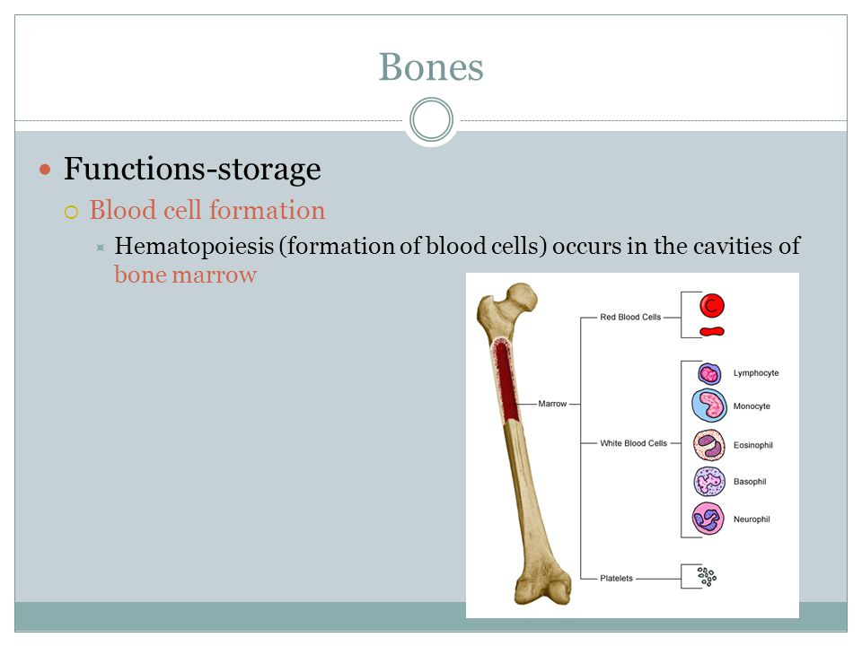 Bones Functions-storage Blood cell formation