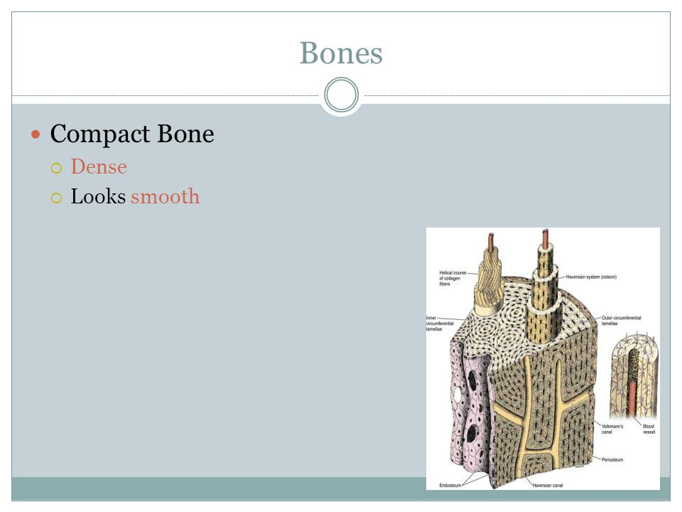 Bones Compact Bone Dense Looks smooth
