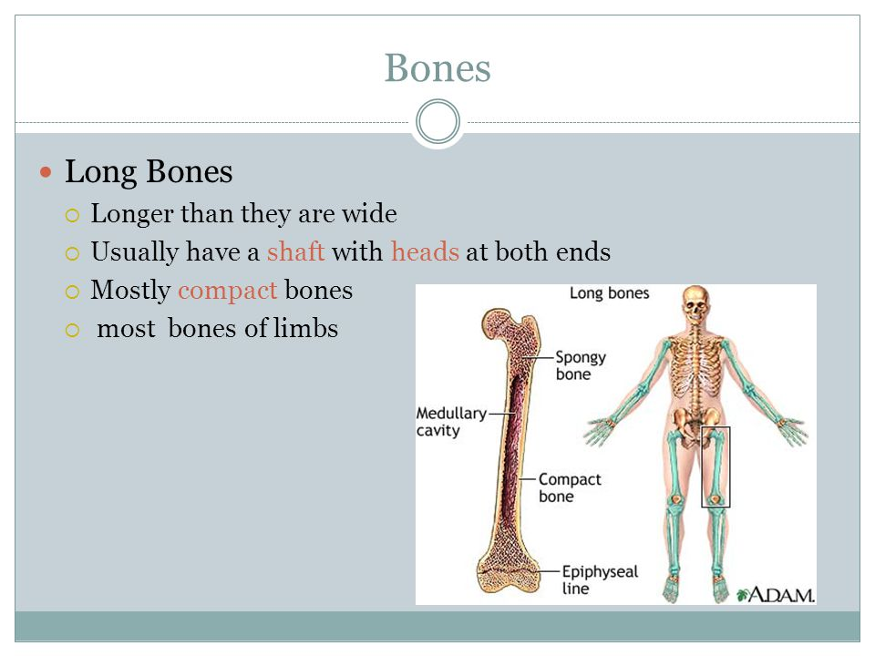 Bones Long Bones Longer than they are wide
