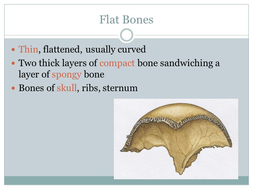 Flat Bones Thin, flattened, usually curved