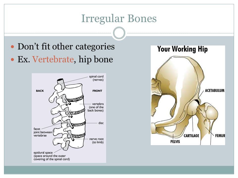 Irregular Bones Don't fit other categories Ex. Vertebrate, hip bone